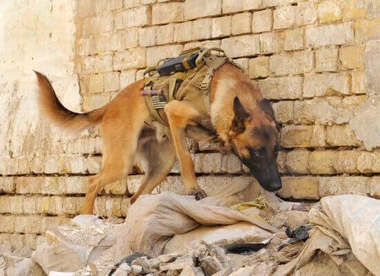 боевая собака