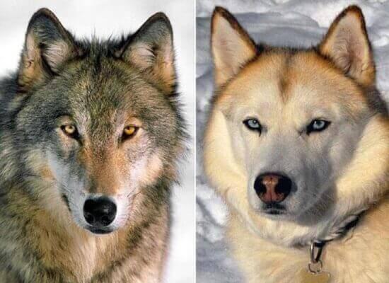 собаки злее, чем волки
