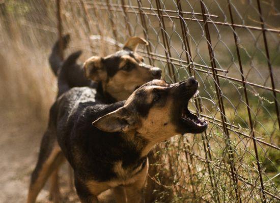 лающие собаки