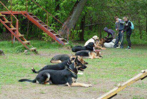 собак научили выполнять команду лежать