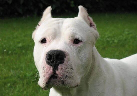 собака аргентинский дог