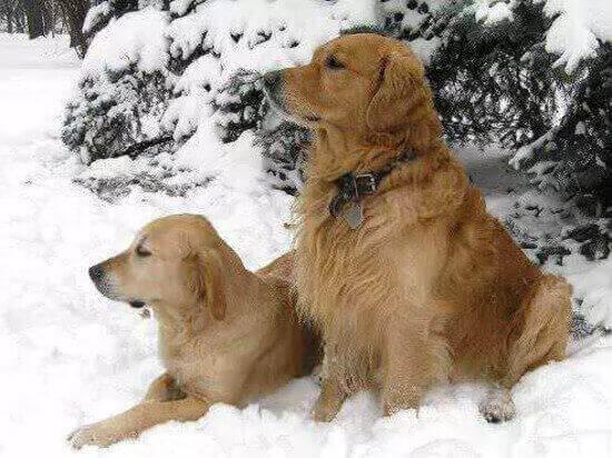 порода собак ретриверы